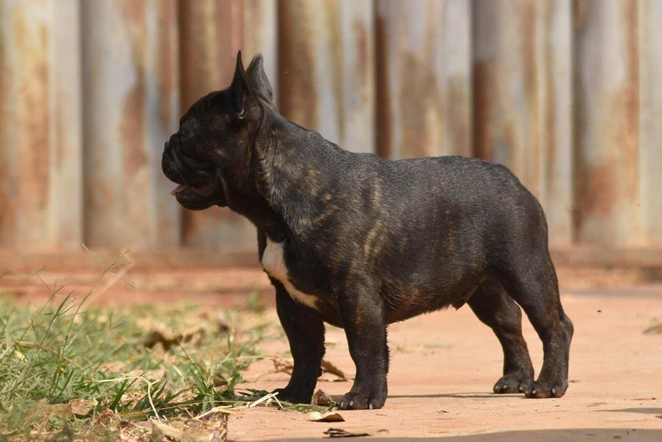 Jacinto Dros Bull