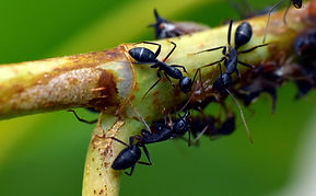 black-ant-3761027_1920.jpg