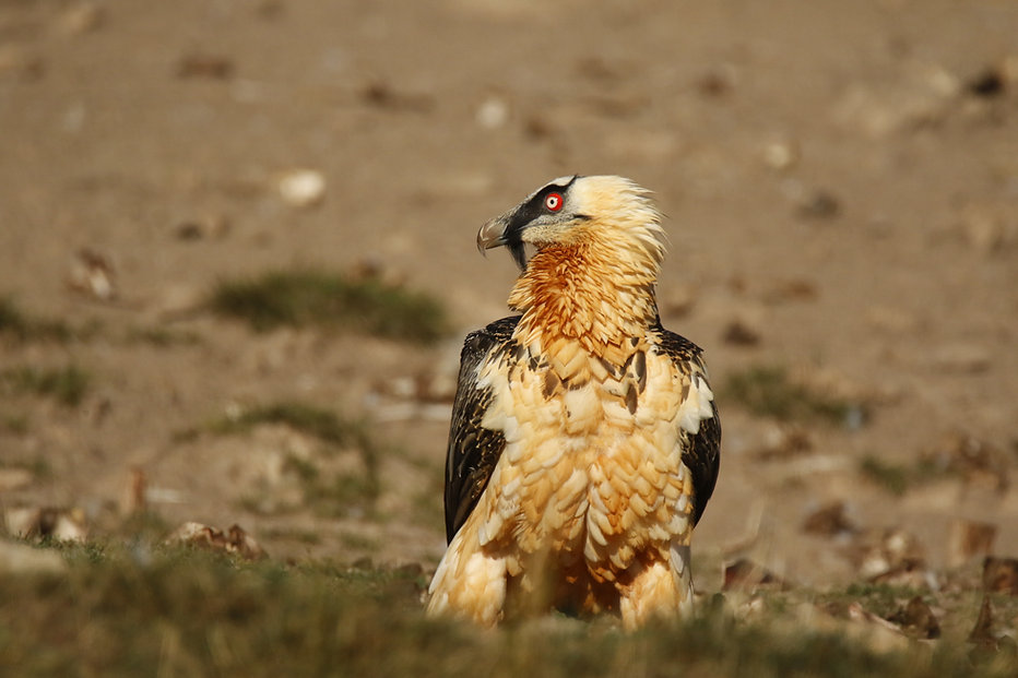 Quebrantahuesos Birds&Lynx Ecotourism.JPG