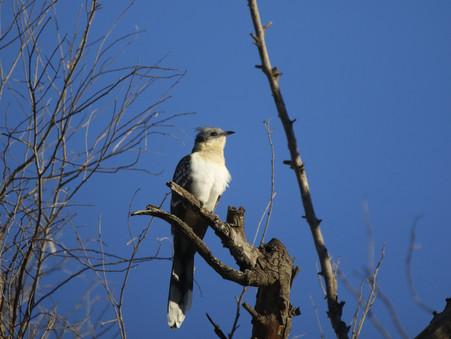 El Críalo europeo en Sierra Morena / The Great spotted cuckoo in Sierra Morena