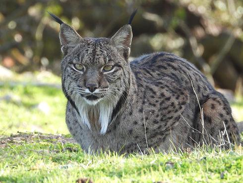 Lince ibérico Birds&Lynx Ecotourism