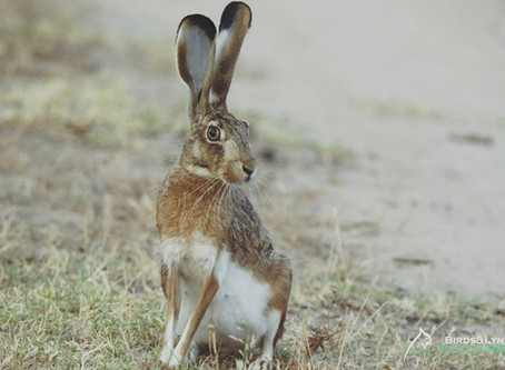 "NUESTRA INCONFUNDIBLE LIEBRE IBÉRICA (""Lepus granatensis"") / OUR UNMISTAKABLE IBERIAN HARE"