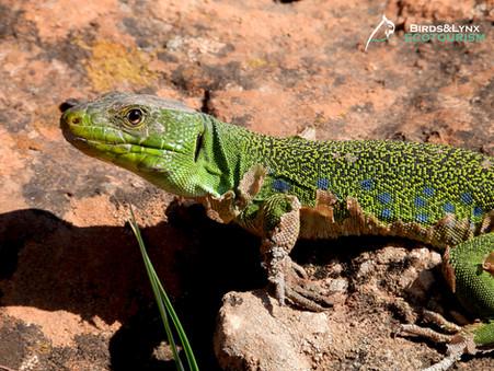 Una joya faunística del sur: el lagarto ocelado