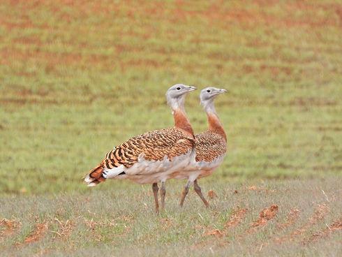 Avutardas macho Birds&Lynx Ecotourism