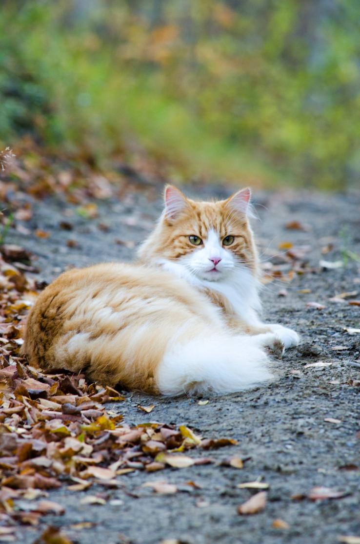 Katteportrett - Cat portrait