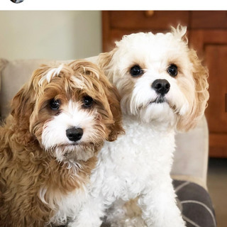 Cavachon and toy cavoodle