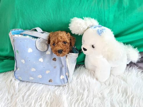 Pocket Poodle