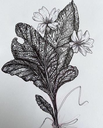 Primroses #botanicalillustration.jpg