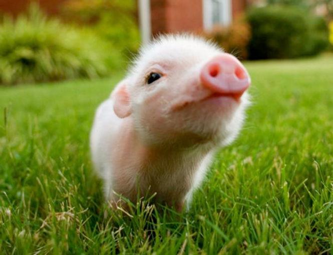 bebe-cochon.jpg