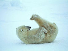 Polar20Bear20Stretching.jpg