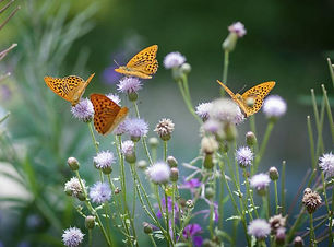 papillon 5.jpg