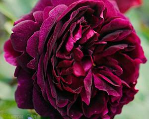Juni, der Rosenmonat
