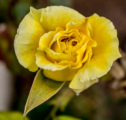Photo: The yellow rose of Texas