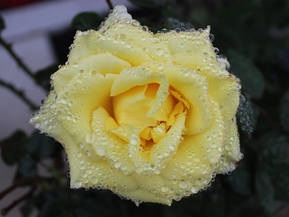 Yellow Rose with Rain