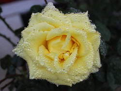 Yellow Rose with Rain