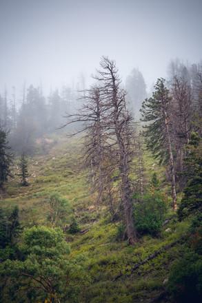 Dead Pine Fog