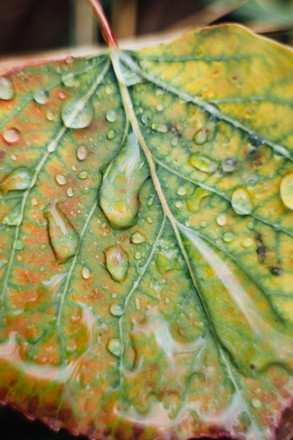 Macro Leaf Dew