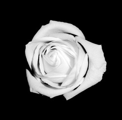 A Rose is just a Rose