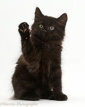 41656-Fluffy-black-kitten-10-weeks-old-w