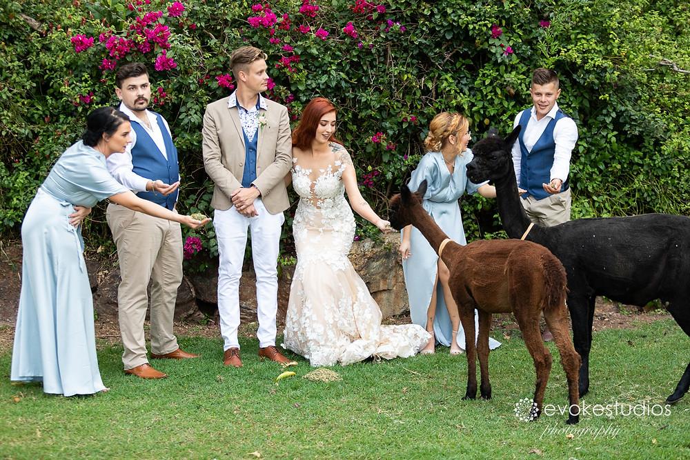 Wedding lamas