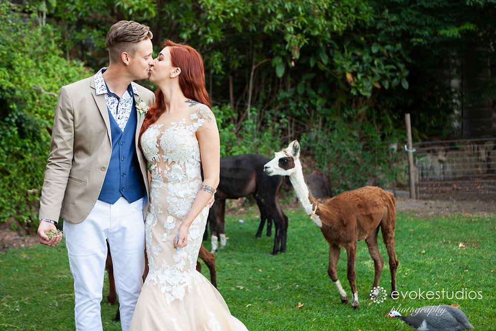 Wedding photography with lamas