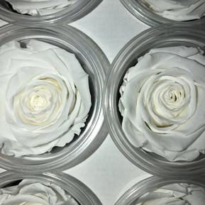 Vanilla White Eternal Roses