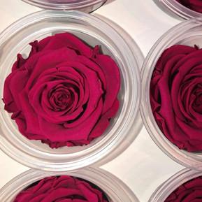 Berry Pink Eternal Roses