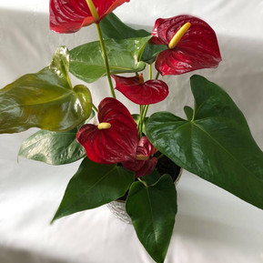 Small anthurium plant