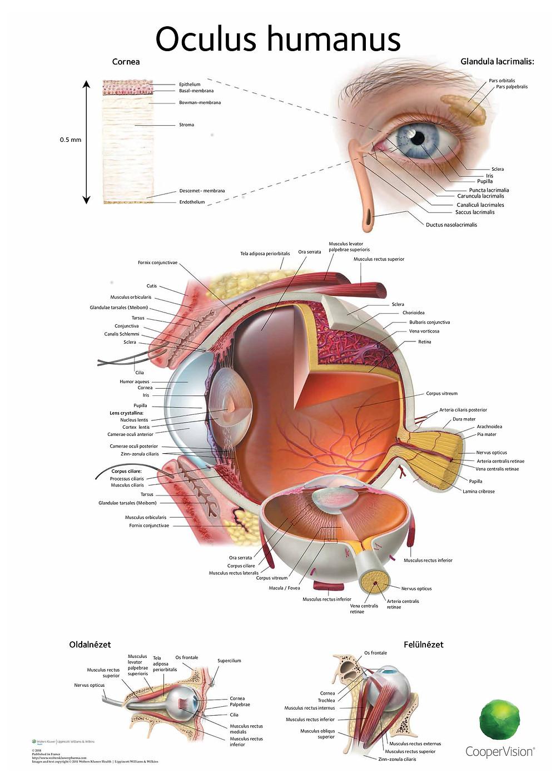 oculus humanus, az emberi szem
