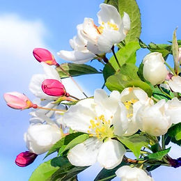 Crab Apple – Bachblüte Nr_ 10 – Reinigun