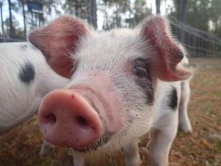 Pigglet at Earthshine Farm
