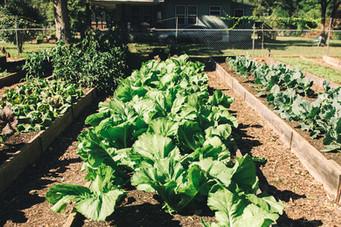 Greens at iGrow Youth Farm