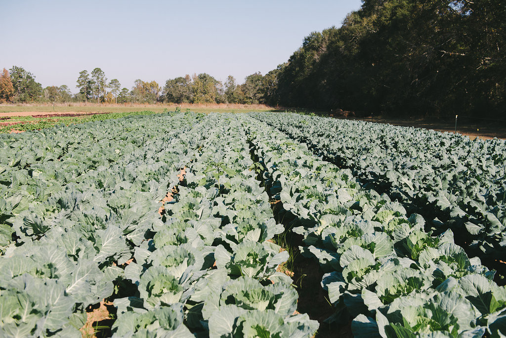Field of Cabbage at Full Earth Farm
