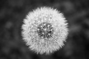 Calm dandelion