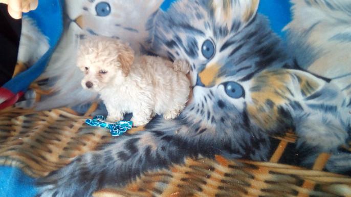 Maltese/Moodle x Bichon puppy for sale