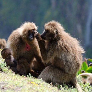 Baboons in the Simean Mountains