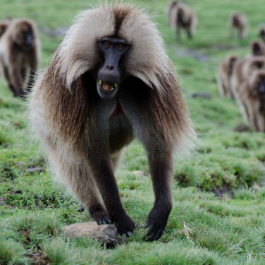 Baboon in the Smean Mountains