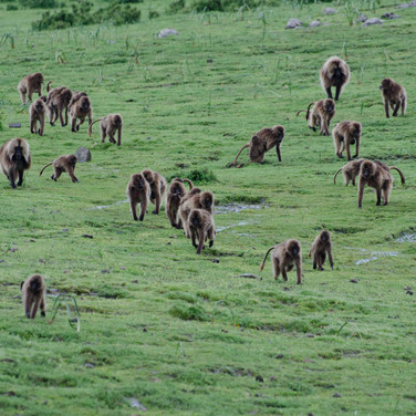 A herd of baboons