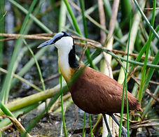 African Jacana (Actophilornis africanus) - in reed beds on edge of lake