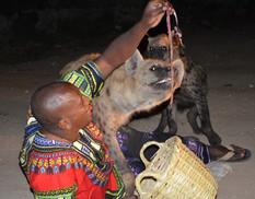 Feeding hyenas