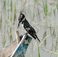 Pied Kingfishe, Hawassa