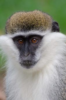 Grivet monkey