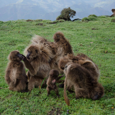 Family group of Baboons