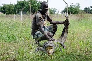 A tolerant crocodile.