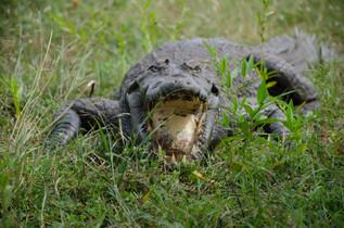 A sacred crocodile
