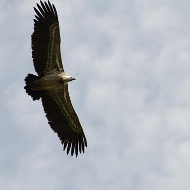 Lämmergeier (bearded vulture)