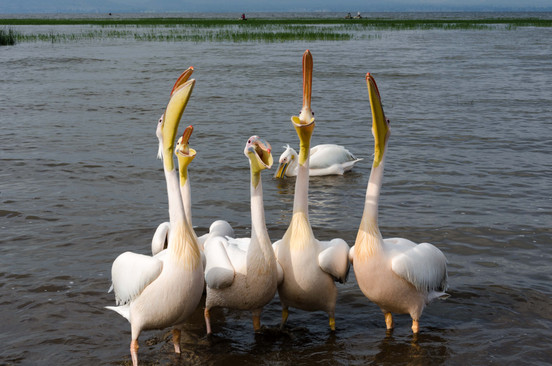 Pelicans line up to catch fish scraps