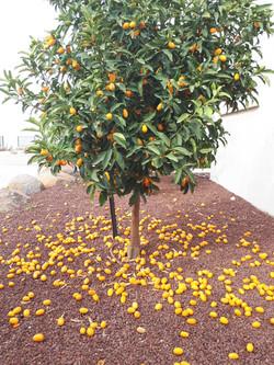 נוף בראשית - עץ תפוז סיני