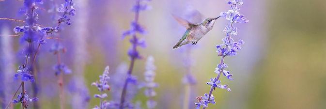 Hummingbird and fragrant lavender
