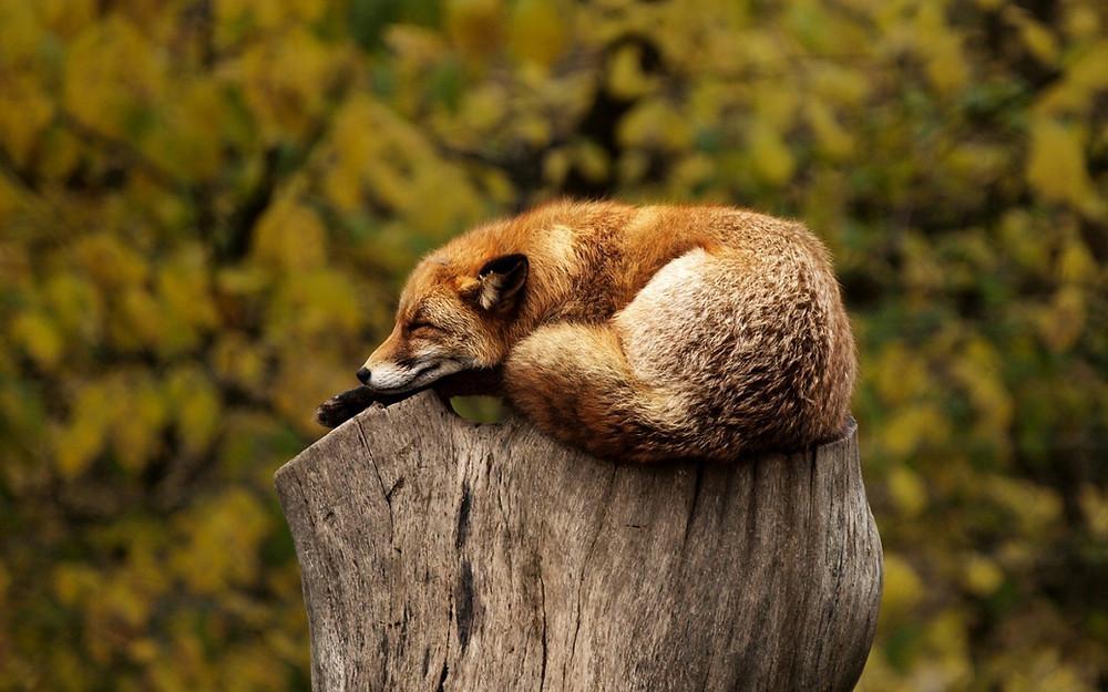 שועל על בול עץ